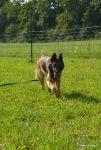 belgijski ovčar - tervuren