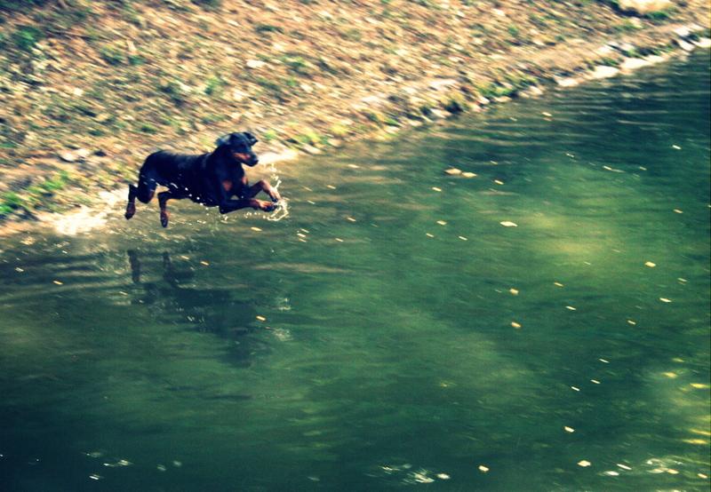 doberman v vodi