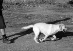 delovni labradorec