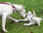 piknik lastnikov argentinskih dog