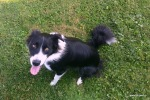 border collie ... hiperaktivec