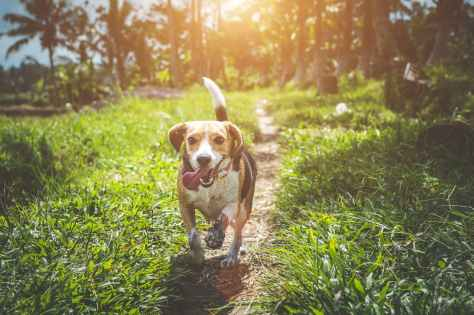 adult beagle walking on grass field